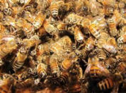 Image of Bees and Honeycomb